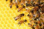 Anche le api bevono il caffè la mattina per essere più sveglie